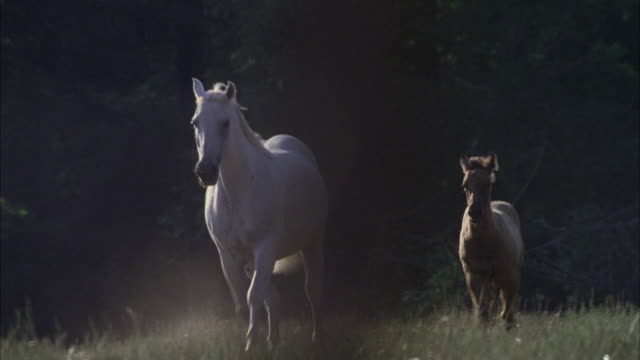 ms ts white horse and young colt running in pasture - 子馬点の映像素材/bロール