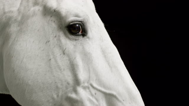 White horse caressed by a female hand