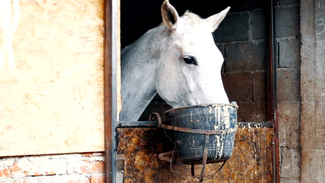 white horse eating from bucket in a barn - small group of animals stock videos & royalty-free footage