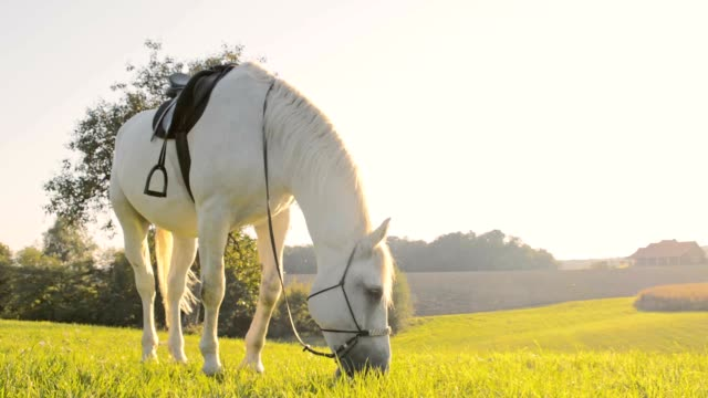 SLO MO White horse eating grass on pasture