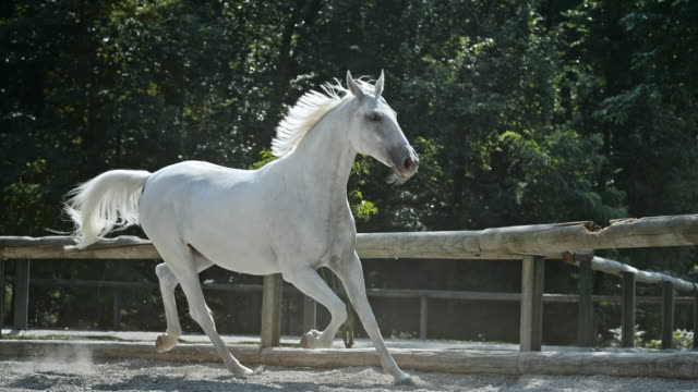 slo mo ld white horse galloping in the longe - horse stock videos & royalty-free footage