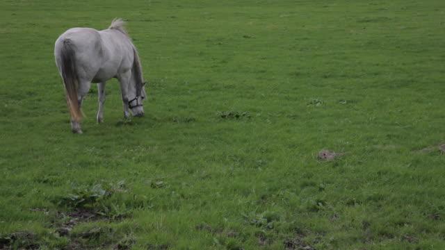ws ld white horse grazing in field / ireland - arbetsdjur bildbanksvideor och videomaterial från bakom kulisserna