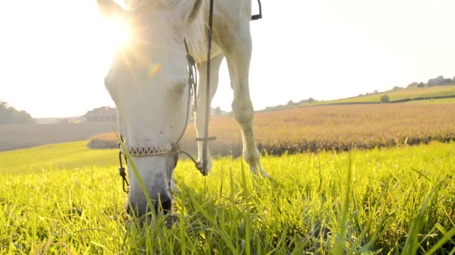 slo mo white horse grazing on the pasture - ranch stock videos & royalty-free footage