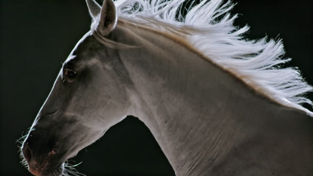 slo mo ts white horse in gallop on black background - galopp gangart von tieren stock-videos und b-roll-filmmaterial