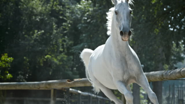 slo mo ld white horse in gallop - gallop animal gait stock videos & royalty-free footage