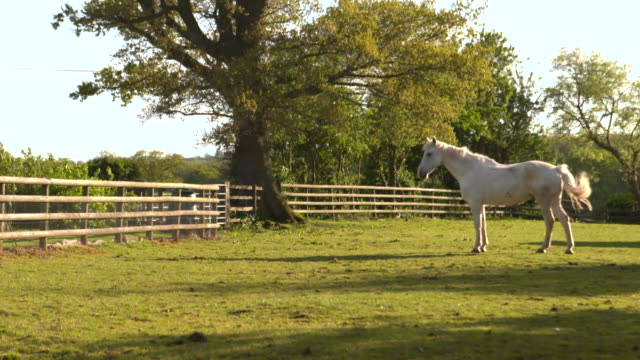 """white horse in paddock, uk - """"bbc natural history"""" stock videos & royalty-free footage"""