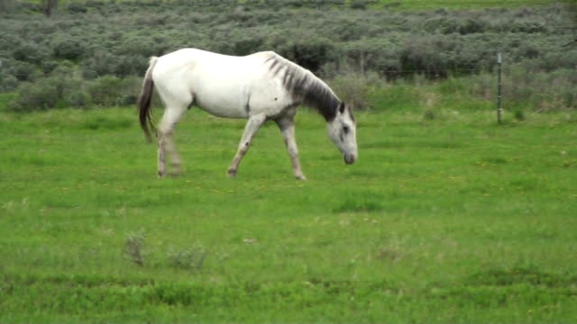 White horse in pasture walking