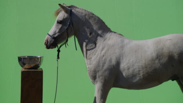 A white horse is startled. Shot over greenscreen background for compositing.