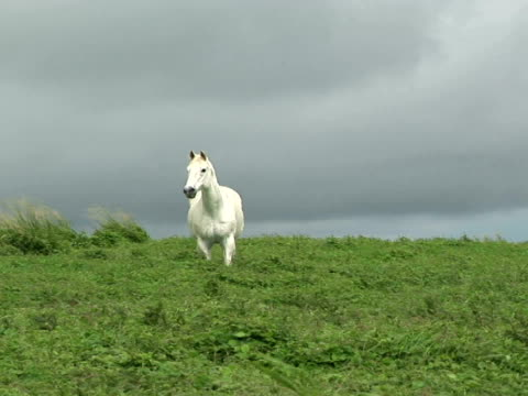 ms white horse on meadow, the big island, south point, hawaii, usa - herbivorous stock videos & royalty-free footage