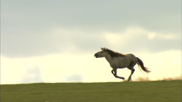 ws ts white horse running in field / tov province, mongolia - galoppera bildbanksvideor och videomaterial från bakom kulisserna