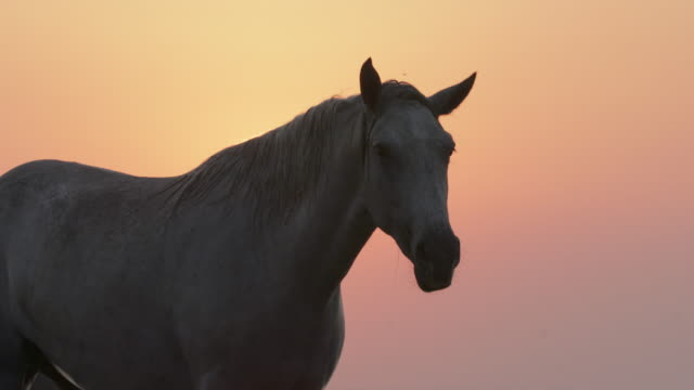 white horse shaking head against orange sky during sunset - camargue, france - cavalry stock videos & royalty-free footage