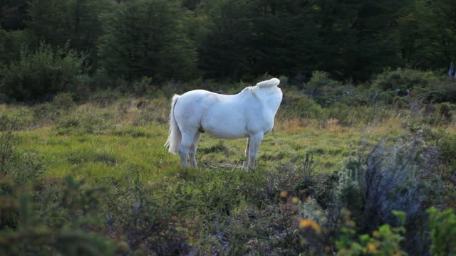ms white horse standing in clearing / torres del paine, chilean patagonia, chile - animale da lavoro video stock e b–roll