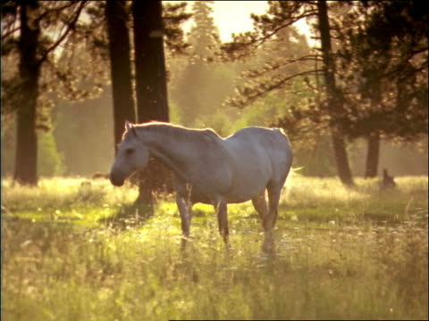 white horse walking in meadow with woods in background / montana - pflanzenfressend stock-videos und b-roll-filmmaterial