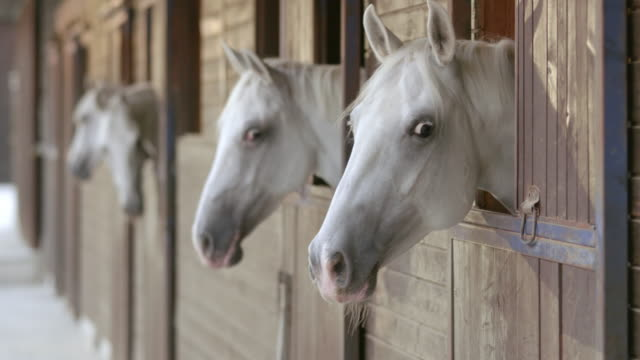 LD White horses peeking through the stable windows
