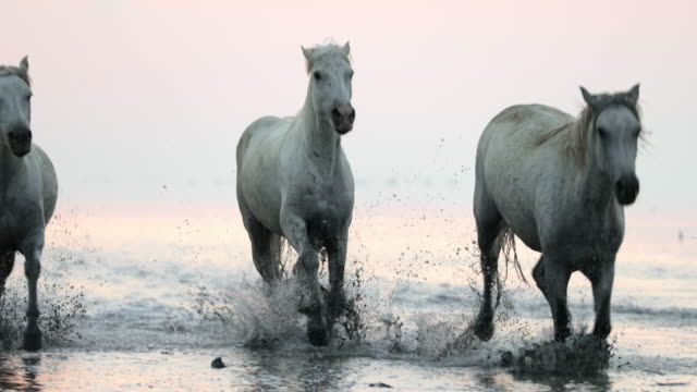 white horses running while splashing water on shore at beach against sky during sunset - camargue, france - camargue stock-videos und b-roll-filmmaterial