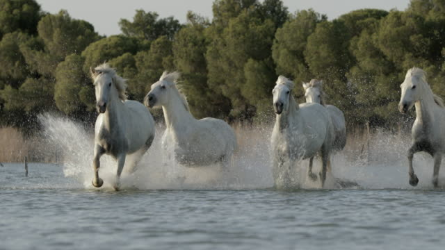 white horses splashing water while running in sea against sky on sunny day - camargue, france - camargue stock-videos und b-roll-filmmaterial