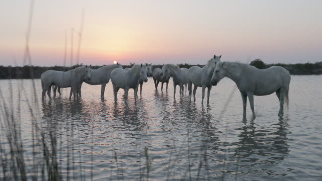 white horses standing in rippled river against sky at sunset - camargue, france - cavalry stock videos & royalty-free footage