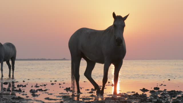 white horses strolling on riverbank against orange sky during sunset - camargue, france - cavalry stock videos & royalty-free footage