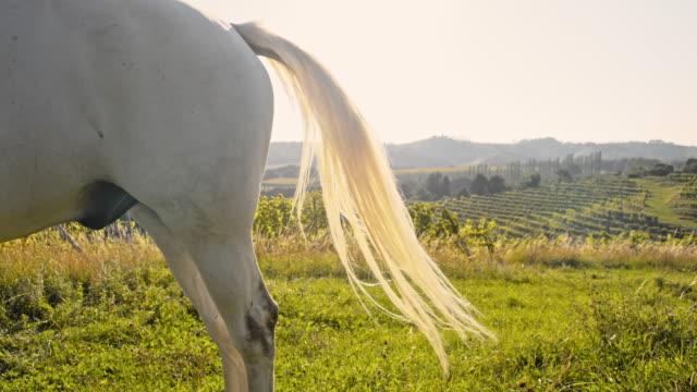 vídeos de stock, filmes e b-roll de slo mo branco cauda de cavalo - cauda