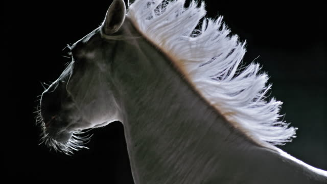 SLO MO White horse's torso in movement