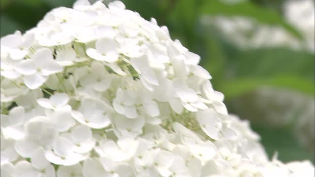 vídeos y material grabado en eventos de stock de white hydrangea blossoms form a cluster. - hortensia