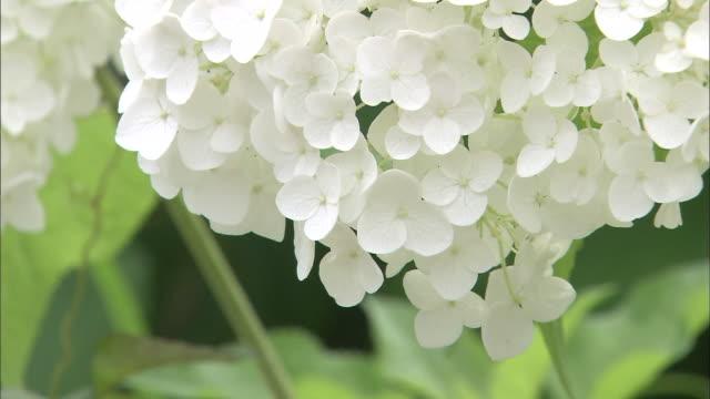 vídeos y material grabado en eventos de stock de white hydrangea blossoms form clusters. - hortensia