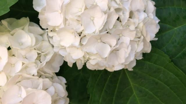 vídeos y material grabado en eventos de stock de hydrangea blanco en el árbol - hortensia