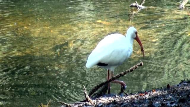 Ibis blanco, clima albus, lactancia en los ríos edge, primer plano