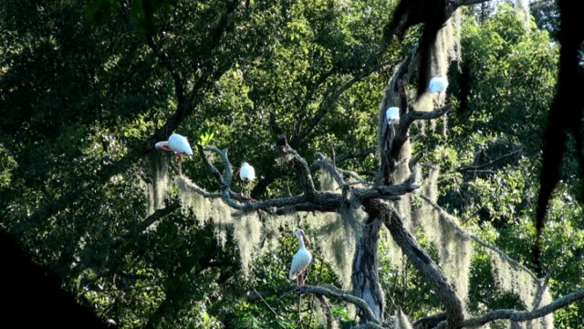white ibis, eudocimus albus, in a tree over the river - preening stock videos & royalty-free footage