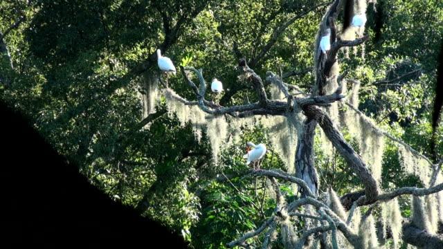 Ibis blanco, clima albus, en un antiguo oak sobre río