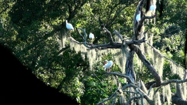 white ibis, eudocimus albus, in einem alten eiche auf den fluss - kleine gruppe von tieren stock-videos und b-roll-filmmaterial