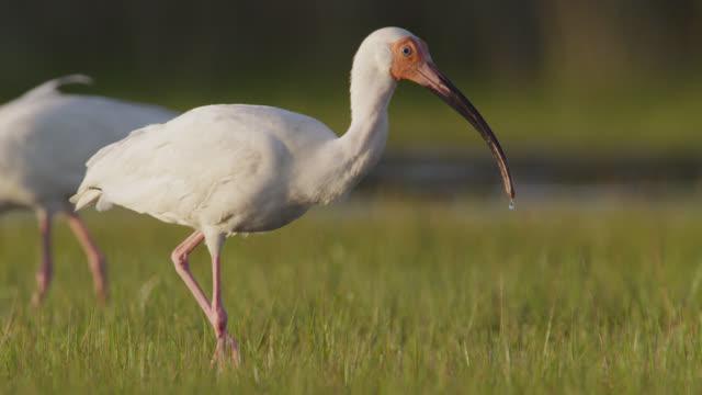 stockvideo's en b-roll-footage met white ibis forages on marshland, north carolina - dierlijke mond