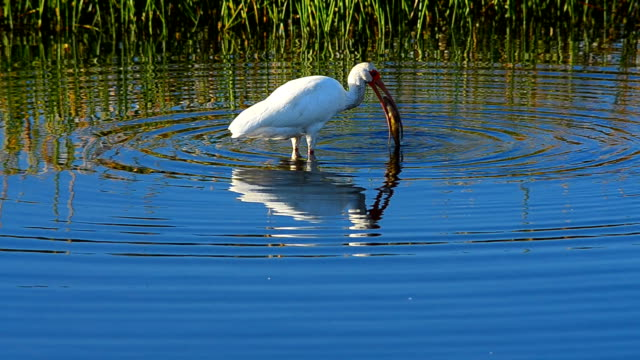White Ibis frustrated by fish that's too big to swallow