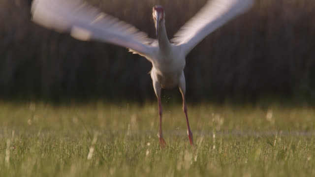 vidéos et rushes de white ibis takes off on marshland, north carolina - un seul animal