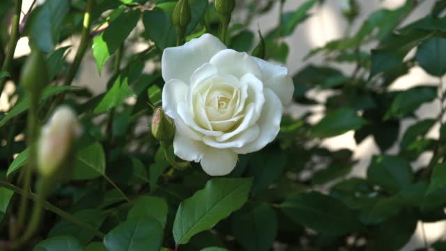white iceberg roses - 4k - single rose stock videos & royalty-free footage