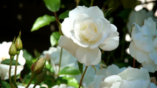 white iceberg roses - white color stock videos & royalty-free footage