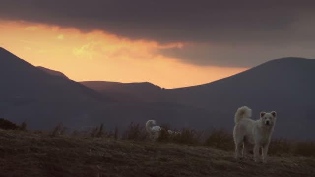 White Italian Sheperd Dog