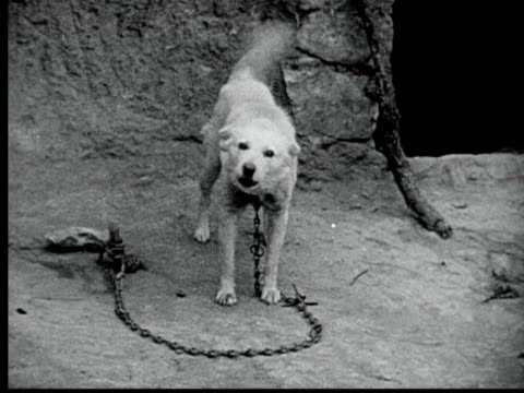 1925 b/w ws white kabyle dog chained to stake barks at camera / nefta, tunisia - 1925 stock videos & royalty-free footage