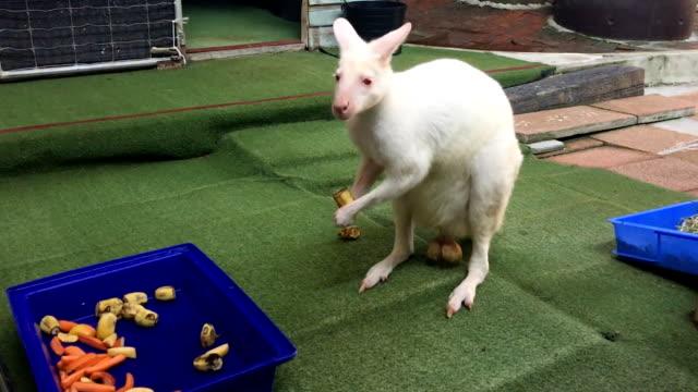 White kangaroo in the zoo.