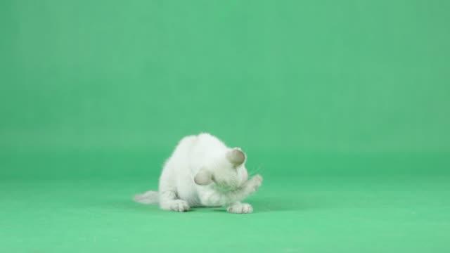 4K White Kitten Putzpfote auf einem grünen Bildschirm