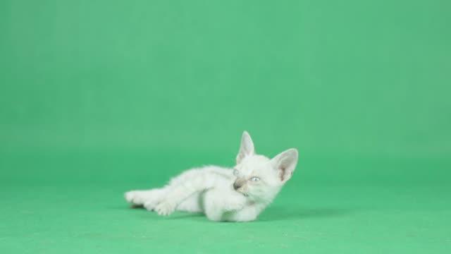 vídeos de stock e filmes b-roll de 4k white kitten cleaning paw on a green screen - fundo verde