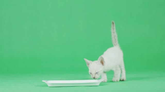 4K weiße Kätzchen essen Essen auf einem grünen Bildschirm