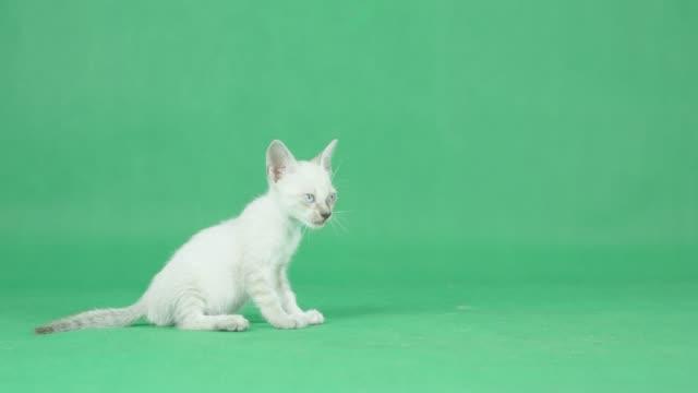 4K Weiße Kitten auf einem grünen Bildschirm