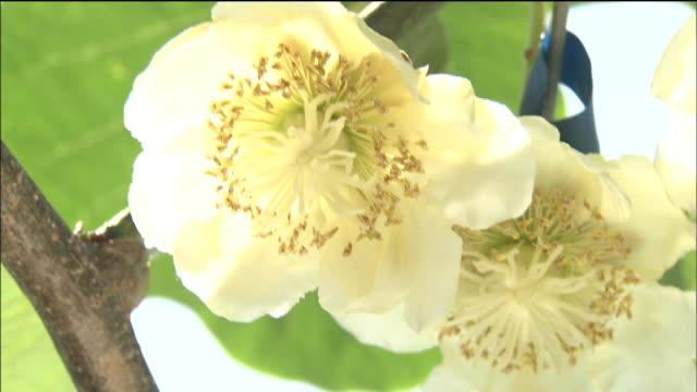 White kiwi flowers bloom on the vine.