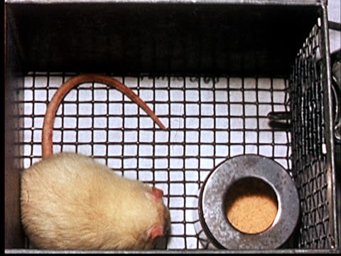 vidéos et rushes de 1960 ms oh white lab rat in cage with food/ audio - captive animals