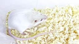 White laboratory albino mouse sitting in a plastic lab container and cleaning its muzzle, face