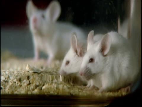 white laboratory mice roam in cage - laboratorio video stock e b–roll