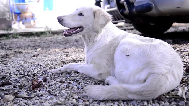 Blanc retriever du labrador