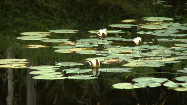 white lilies resting on still pondwater - lily stock videos & royalty-free footage