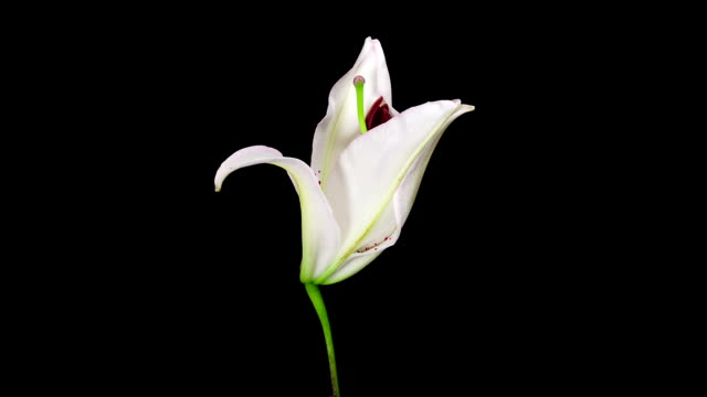 white lily flower blooming timelapse - lily stock videos and b-roll footage